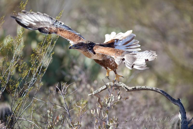 Ferruginous Hawk Launches