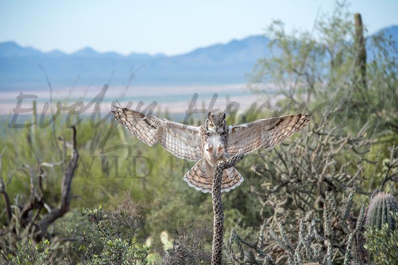 Great Horned Owl Braking for a Landing