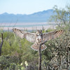 Great Horned Owl Braking for a Landing