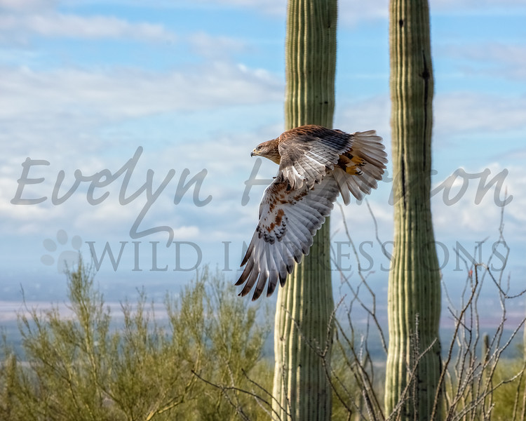 Ferruginous Hawk in Flight across the Arizona Desert