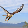 Ferruginous Hawk in Flight