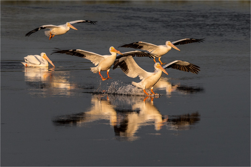 Pelican Squadron
