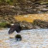 Bald Eagle on Seal Bay