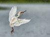 Translucense , cattle egret