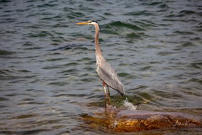 Blue Heron 9498 LOGO