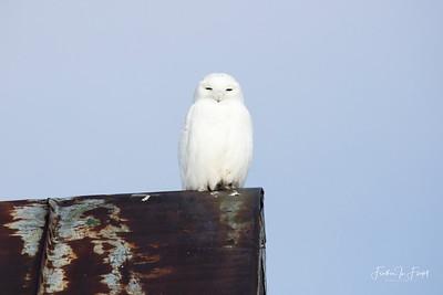 Snowy Owl 2019-01-14 9938 CROP LOGO