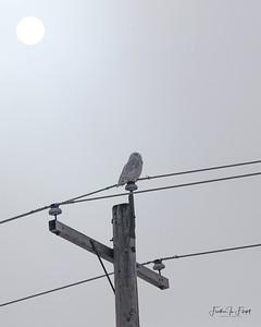 Snowy Owl 2019-01-14 9984 8x10 CROP LOGO