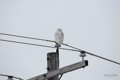 Snowy Owl 2019-01-14 9973 LOGO