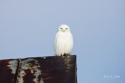 Snowy Owl 2019-01-14 9940 CROP LOGO