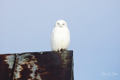 Snowy Owl 2019-01-14 9939 CROP LOGO