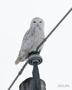 Snowy Owl 2019-01-14 0007 LOGO