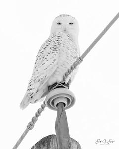 Snowy Owl 2019-01-14 0007 B&W LOGO