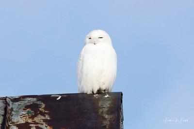 Snowy Owl 2019-01-14 9935 CROP LOGO