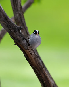 White-Crowned Sparrow 9418 8x10