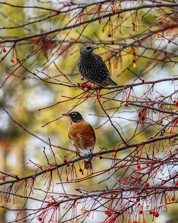 Starling & Robins 0579 XCROP 8x10