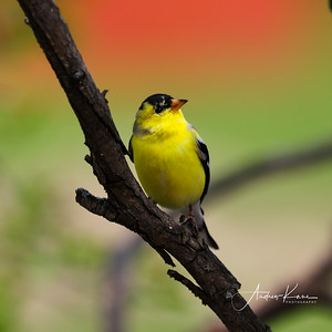 Goldfinch 9480 SQUARE