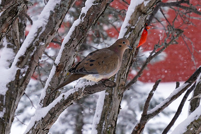 Mourning Dove 0091 XCROP