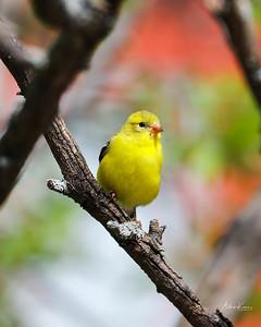 Goldfinch 9470 8X10 LOGO