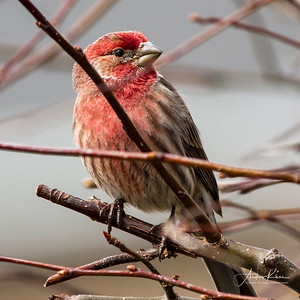 Male House Finch _0310 XCROP SQUARE