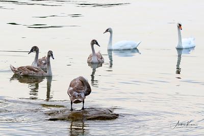 Swans 9226 CROP LOGO
