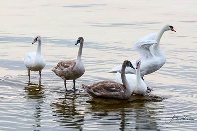 Swans 9216 XCROP LOGO
