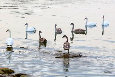 Swans 9225 CROP LOGO