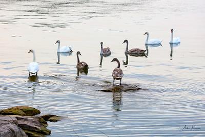 Swans 9225 LOGO