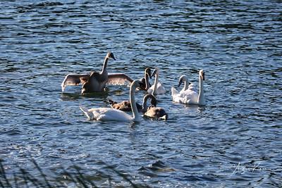 Swan 0521 LOGO
