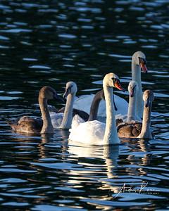 Swan 0489 8X10 LOGO