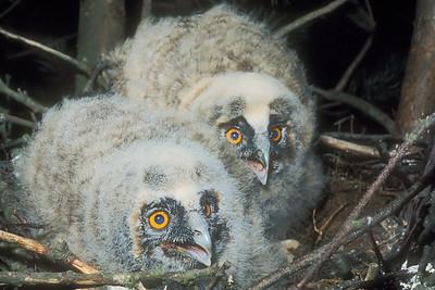 Long Ear Owl Chicks.