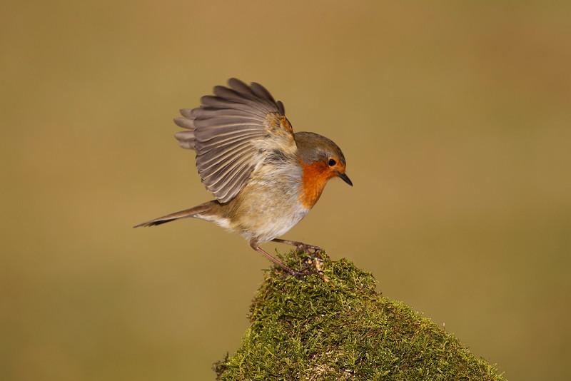 Scottish Robin. John Chapman.
