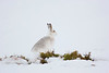 Mountain Hare in Winter Coat. John Chapman.