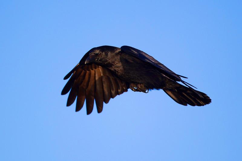 Carrion Crow in Flight. John Chapman.