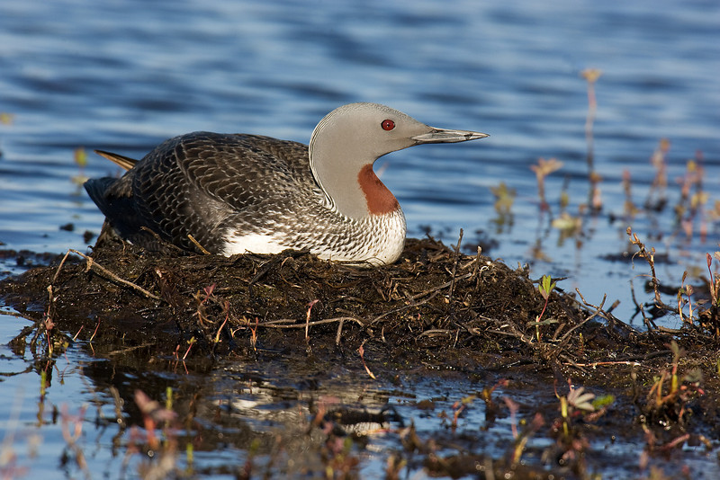 Red Throated Diver. John Chapman.