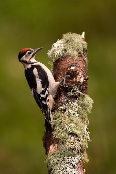 Great Spotted Woodpecker. John Chapman.
