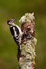 Great Spotted Woodpecker. John Chapman.