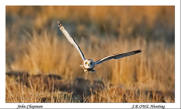 Short Ear Owl. John Chapman.
