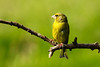Greenfinch. John Chapman.