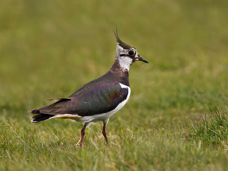 Lapwing. John Chapman. Accepted in the Local Press.