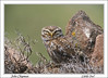 Little Owl. John Chapman.