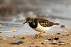 Turnstone in Winter Plumage. John Chapman.