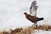 Female Red Grouse.