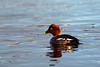 Female Goldeneye Duck.John Chapman.