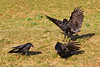 Carrion Crows in a Punch Up. John Chapman.