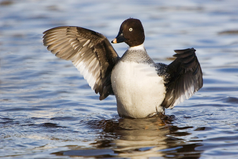 Female Goldeneye Duck. John Chapman.