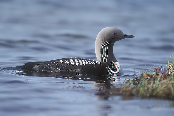 Black Throated Diver. John Chapman.