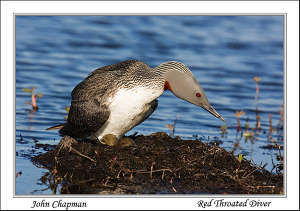 Red Throated Diver. Published in The Breeding Birds of North East Scotland. John Chapman.