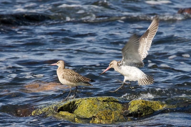 Bar Tailed Godwits.