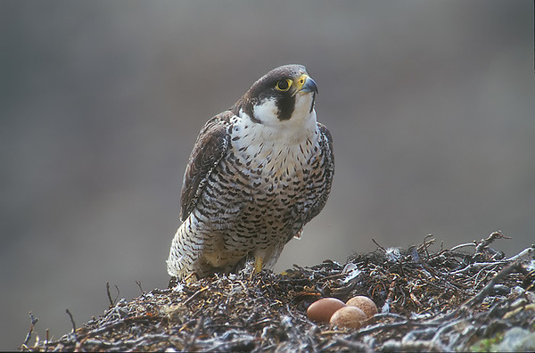Peregrine Falcon. John Chapman.