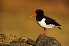 Oystercatcher. Published in the Local Newspaper. John Chapman.